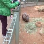 Baby capybara / Utkarsh Gupta