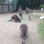 Kangaroos! / Utkarsh Gupta